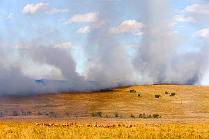 RF- Bush fire with Topi (Damaliscus korrigum) and Zebra (Equus quagga) Masai-Mara Game Reserve, Kenya, October 2012. (This image may be licensed either as rights managed or royalty free.) - Denis-Huot