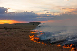 Bush fire at dusk, Masai-Mara Game Reserve, Kenya, October 2012  -  Denis-Huot
