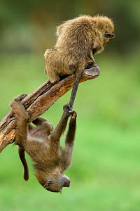 Young Olive baboons (Papio hamadryas anubis) playing with one hanging from the others tail, Nakuru National Park, Kenya - Denis-Huot