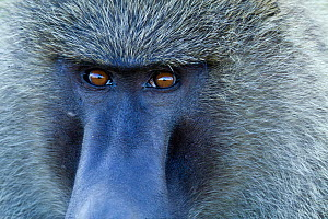 Olive baboon (Papio hamadryas anubis) close-up of a male, Masai-Mara Game Reserve, Kenya - Denis-Huot