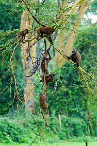 Olive baboon (Papio hamadryas anubis) group in an acacia tree, Nakuru National Park, Kenya - Denis-Huot