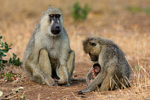 yellow baboon (Papio hamadryas cynocephalus) male looking at a mother and its baby, Tsavo East National Park, Kenya  -  Denis-Huot