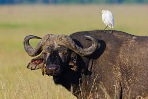African buffalo (Syncerus caffer) male with a Cattle egret (Bulbulcus ibis ibis) and a Yellow-billed oxpecker (Buphagus africanus) Masai-Mara game reserve, Kenya  -  Denis-Huot