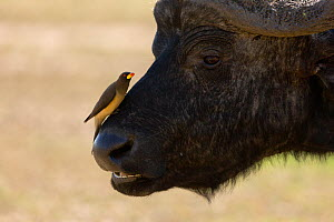 RF- African buffalo (Syncerus caffer) male with Yellow-billed oxpecker (Buphagus africanus) on nose, Nakuru National Park, Kenya. (This image may be licensed either as rights managed or royalty free.)  -  Denis-Huot