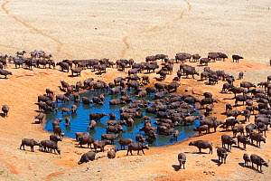 African buffalo (Syncerus caffer) herd drinking in front of Voi lodge, aerial view, Tsavo East National Park, Kenya  -  Denis-Huot