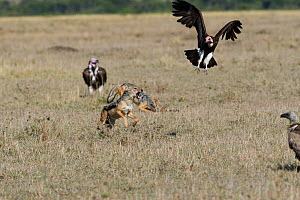 Black-backed jackal (Canis mesomelas) in conflict with Lappet-faced vultures (Torgos tracheliotos) Masai-Mara game reserve, Kenya  -  Denis-Huot