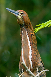 Bare-throated Tiger-Heron (Tigrisoma mexicanum) Tortugueros, Costa-Rica  -  Denis-Huot