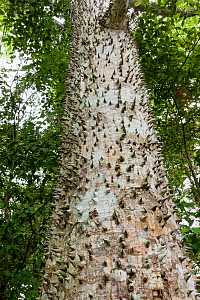 Tree with trunk covered with spines  (Ceiba sp) in tropical forest, Corcovado National Park, Costa rRca  -  Denis-Huot