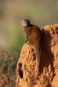 Dwarf mongoose (Helogale parvula) keeping lookout from a termite hill, Samburu game reserve, Kenya  -  Denis-Huot