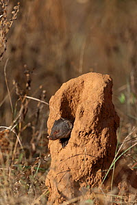 Dwarf mongoose (Helogale parvula) sitting in  termite hill, Samburu game reserve, Kenya  -  Denis-Huot