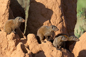 Dwarf mongooses (Helogale parvula) keeping lookout from a termite hill, Samburu game reserve, Kenya  -  Denis-Huot