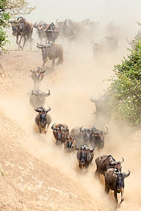Wildebeest (Connchaetes taurinus) running down bank of the Mara River during migration, Masai Mara, Kenya  -  Denis-Huot