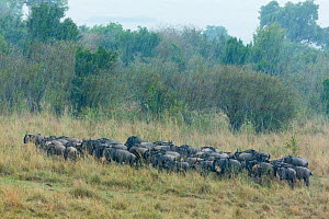 Wildebeest (Connochaetes taurinus) herd in the rain, Masai-Mara Game Reserve, Kenya - Denis-Huot