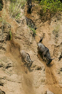 Wildebeest (Connochaetes taurinus) running for down steep bank of the Mara river during migration, Masai-Mara Game Reserve, Kenya  -  Denis-Huot