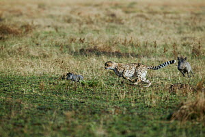 Cheetah (Acinonyx jubatus) hunting young warthog (Phacochoerus africanus) in turn being chased by warthog mother, Masai Mara, Kenya. Vulnerable species.  -  Denis-Huot