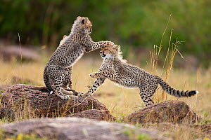 RF- Cheetah (Acinonyx jubatus) cubs playing, Masai-Mara Game Reserve, Kenya. Vulnerable species. (This image may be licensed either as rights managed or royalty free.) - Denis-Huot