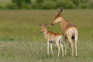 Coke's Hartebeest (Alcelaphus bucephalus cokii) mother and young, Masai-Mara game reserve, Kenya  -  Denis-Huot