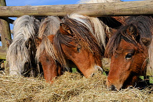 Four American miniature horses (Equus caballus) reaching through a wooden fence to eat hay, Wiltshire, UK, October. - Nick Upton