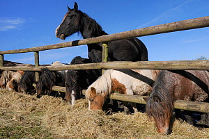 Row of American Miniature horses and a Welsh cob (Equus caballus) reaching through a wooden fence to eat hay, Wiltshire, UK, October. - Nick Upton