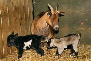 Mother Pygmy goat (Capra hircus) and two new-born kids in a straw-lined stable, Wiltshire, UK, September.  -  Nick Upton