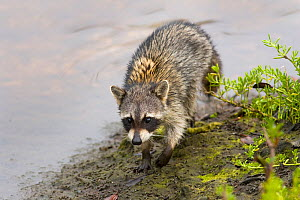 Raccoon (Procyon lotor) foraging by water. Florida USA, March. - Ernie Janes