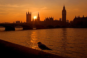 The River Thames and Houses of Parliament at Westminster at sunset with gull, UK, November 2005.  -  Ernie  Janes
