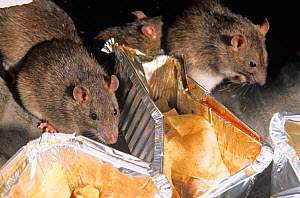 Brown Rat (Rattus norvegicus) scavenging in bin. UK, May. - Ernie Janes,Ernie  Janes