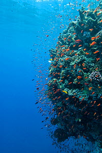Coral wall with Anthiinae schooling fish, Red Sea  -  Michael Pitts,Michael Pitts