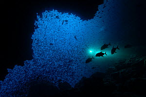Patrolling Trevallies (Carangidae sp) at the entrance of a cave on Wolf Island, Galapagos Islands.  -  Michael Pitts