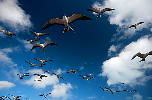 Sooty Terns (Onychoprion fuscata) flock in flight, Midway Island. Central Pacific.  -  Michael Pitts,Michael Pitts
