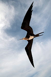 Great Frigatebird (Fregata minor) in flight over Midway Atoll. Midway. - Michael Pitts