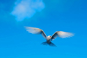 White Tern (Gygis alba) Midway Island, Central Pacific - Michael Pitts