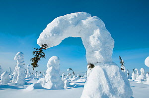 Conifer tree bent under the weight of snow, Kuntivaara, Finland. Photograph taken on location for BBC Frozen Planet series, March 2010  -  Barrie Britton,Barrie Britton