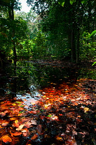Flooded forest, Loango National Park, Gabon. Photograph taken on location for BBC 'Africa' series, January 2011.  -  Barrie Britton