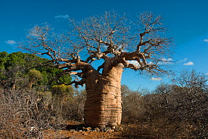 Baobab tree (Adansonia rubrostipa) in Tsimanampetsotsa National Park, Madagascar.  Photograph taken on location for BBC 'Wild Madagascar' Series, August 2009.  -  Barrie Britton