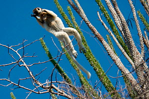 Verreaux's Sifaka (Propithecus verreauxi) leaping between trees in Spiny Forest, with Madagascar ocotillo (Alluadudia procera) Ifotaka, Madagascar. Photograph taken on location for BBC 'Wild Madagasc... - Barrie Britton