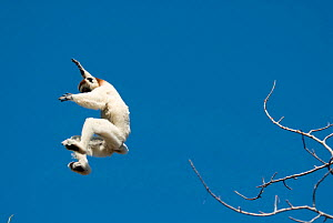 Verreaux's Sifaka (Propithecus verreauxi) leaping between trees in Spiny Forest, Ifotaka, Madagascar. Photograph taken during filming for BBC 'Wild Madagascar' Series, September 2009.  -  Barrie Britton