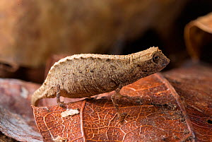 Nosy Be Pygmy Leaf Chameleon (Brookesia minima) female, world's smallest reptile.  Nosy Be, Madagascar. Photograph taken on location for BBC 'Wild Madagascar' Series, January 2010  -  Barrie Britton
