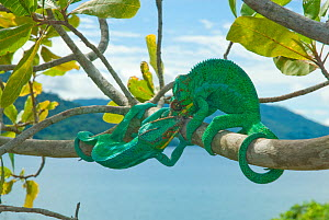 Male Panther Chameleons (Furcifer pardalis) fighting. Nosy Be, Madagascar. Photograph taken on location for BBC 'Wild Madagascar' Series, January 2010 - Barrie Britton