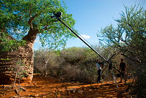 Producer Mary Summerill and Field Assistant Jonathan Fiely using crane to film 'Grandmother' Baobab Tree (Adansonia rubrostipa), showing green foliage of rainy season. Lac Tsimanampetsotsa, Madagasca...  -  Barrie Britton