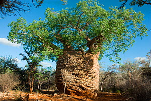 'Grandmother' Baobab Tree (Adansonia rubrostipa) with green foliage of rainy season. Lac Tsimanampetsotsa National Park, Madagascar. Photograph taken on location for BBC 'Wild Madagascar' Series, F...  -  Barrie Britton