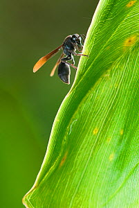 Wasp (Ropalidia species) which attacks tadpoles. Association Mitsinjo Reserve, Andasibe, Madagascar. Photograph taken on location for BBC 'Wild Madagascar' Series, February 2010  -  Barrie Britton