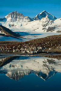 King Penguin (Aptenodytes patagonicus) colony, with mountains reflected in the ocean, St Andrew's Bay, South Georgia. Photograph taken on location for the BBC Frozen Planet series, October 2009.  -  Barrie Britton,Barrie Britton