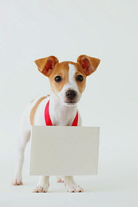 Jack Russell Terrier with whiteboard around its neck. Property released.  -  Aflo