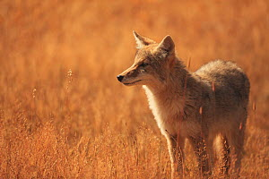 Coyote (Canis latrans) in grassland, Yellowstone National Park, Wyoming, September - Aflo