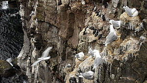 Wide-angle shot of Kittiwakes (Rissa tridactyla) and nests on a cliff, with Common guillemots (Uria aalge) in the background, Latrabjarg, Iceland, July. - Terry  Whittaker