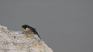 Male Peregrine falcon (Falco peregrinus) stretching its wings whilst perched on the White Cliffs of Dover, Kent, England, UK, May.  -  Terry  Whittaker