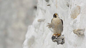 Male Peregrine falcon (Falco peregrinus) looking around whilst perched on a flint/chert nodule protruding from the White Cliffs of Dover, Kent, England, UK, May.  -  Terry  Whittaker
