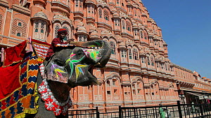 Ceremonially decorated Indian elephant (Elephas maximus) and mahout outside the Hawa Mahal / Palace of Winds, Rajasthan, Jaipur, India, 2011. - Gavin Hellier