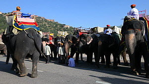 Domesticated Indian elephants (Elephas maximus) with mahouts waiting to carry tourists, Amber Fort near Jaipur, Rajasthan, India, 2011.  -  Gavin Hellier